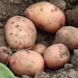 картофель Весна
