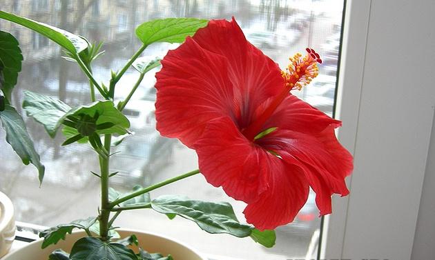 красный цветок гибискуса