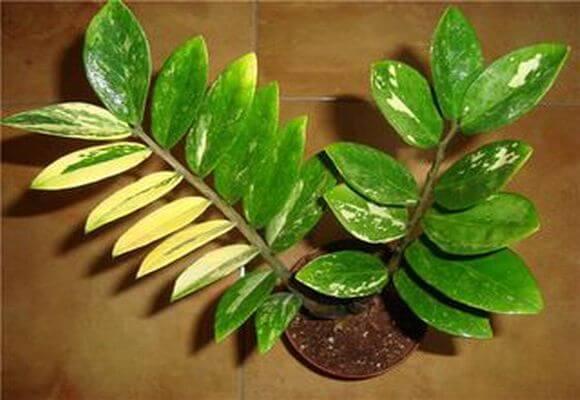 пожелтевшие листья у замиокулькаса