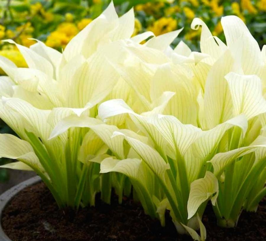 хоста Белые перья