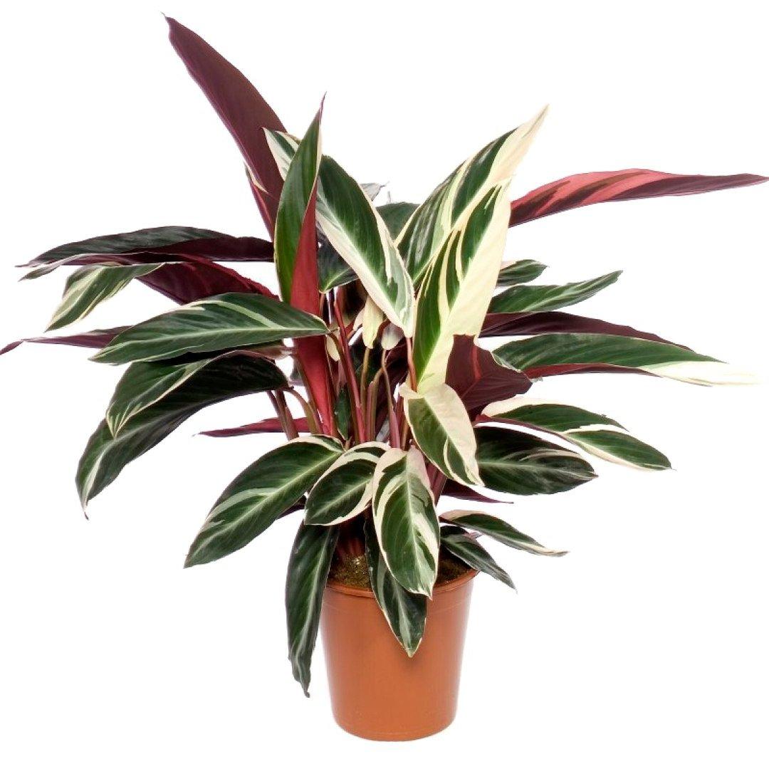Комнатные цветы с красными пестрыми листьями фото