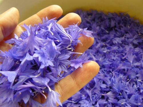 лепестки цветов василька