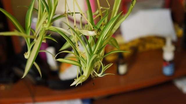 Хлорофитум размножение в домашних условиях