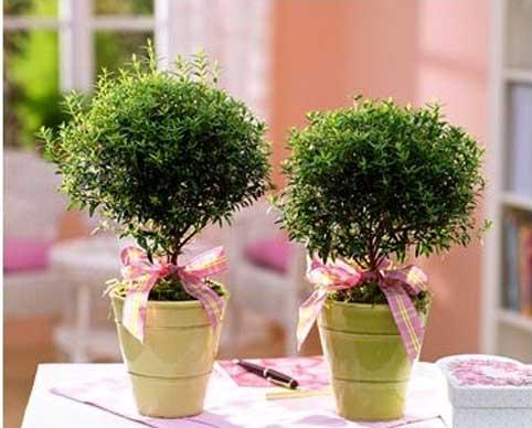 Мирт рослина в будинку