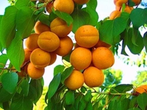 лучший сорт абрикоса