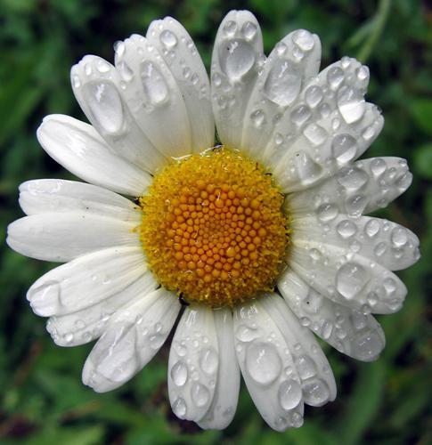 один цветок ромашки