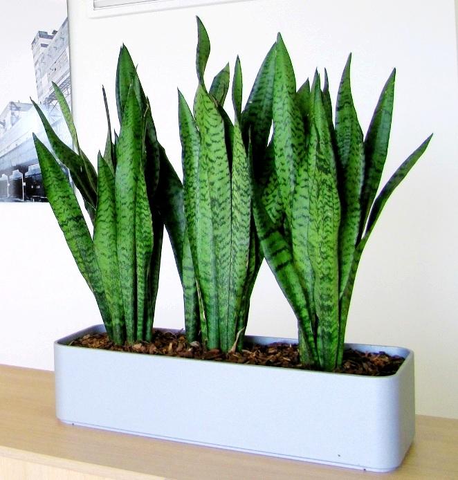 домашнее растение щучий хвост