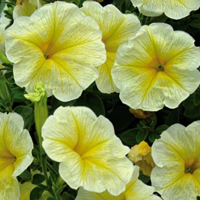петуния Лавина желтая