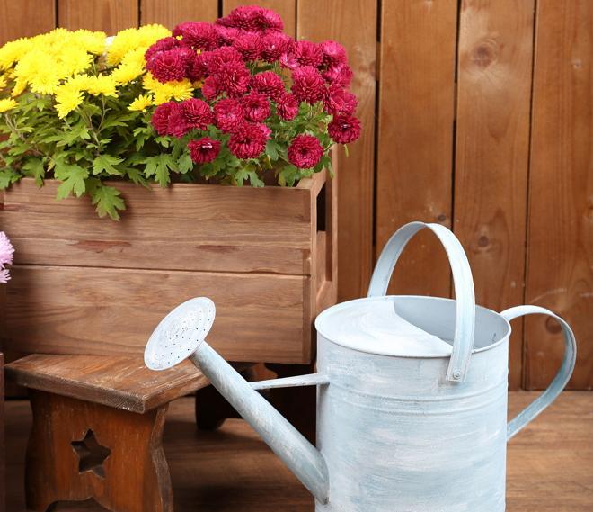 полив хризантемы в саду