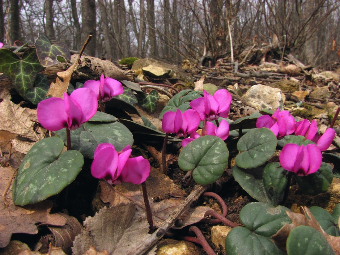 цикламен цветет в лесу