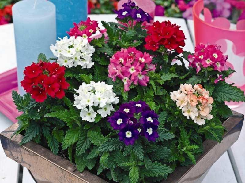 Цветы вербена цветов