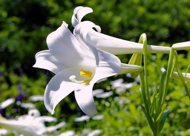 длинноцветковые гибриды лилий