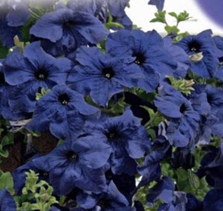 синие цветы петунии