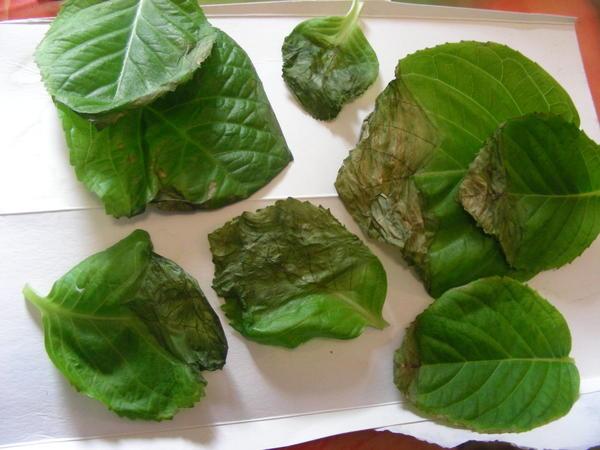 больные листья гортензии