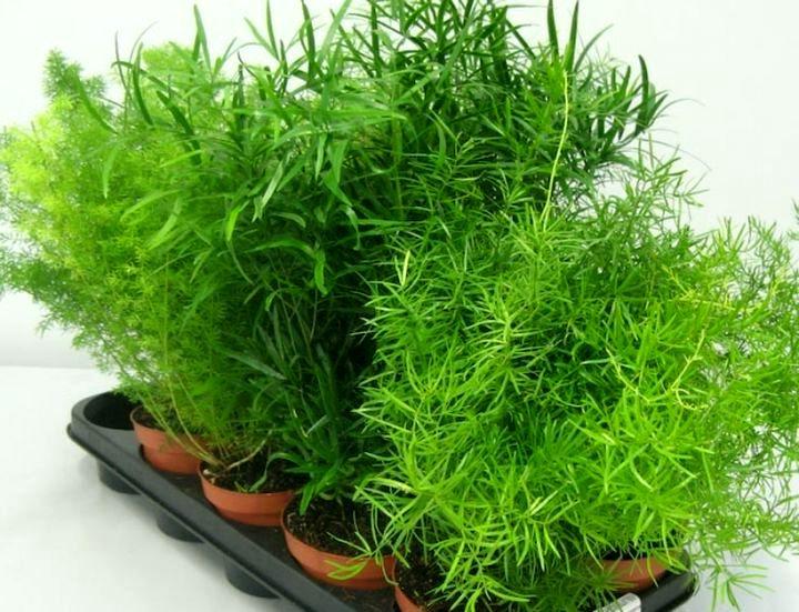 растение аспарагус