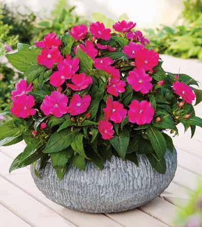 розового цвета бальзамин