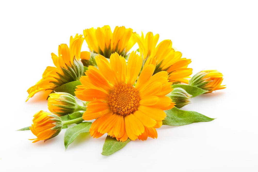 желтые цветы календулы