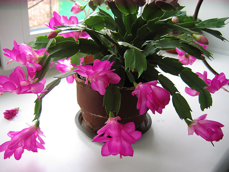Цветы комнатные декабрист