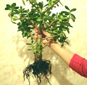 денежное дерево для пересадки