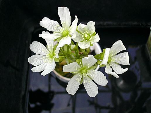 цветение мухоловки