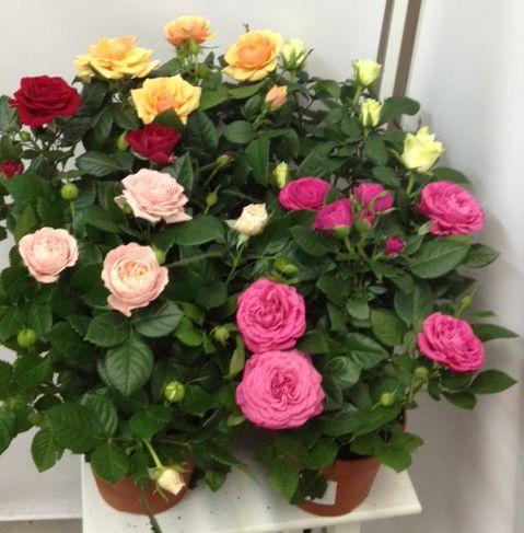 роза сорта Микс