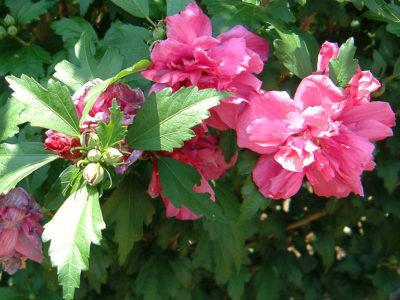 садовый гибискус