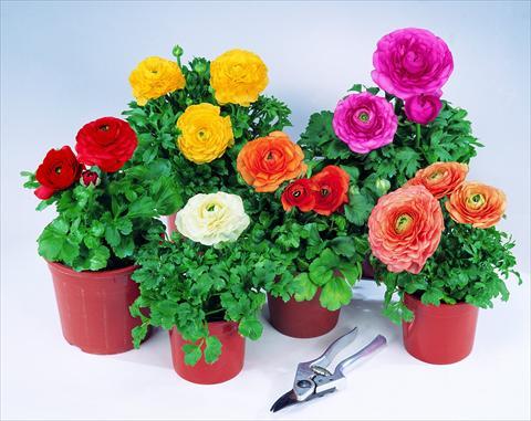 ранункулюсы разных цветов