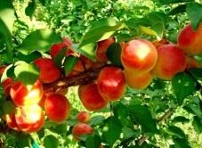 абрикос Особенный Денисюка