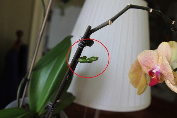 орхидея после обработки