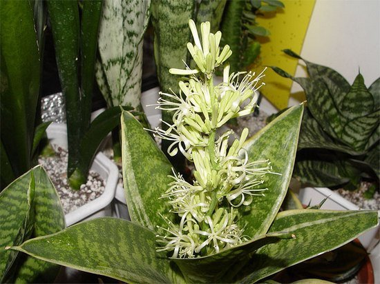 цветение сансевиерии