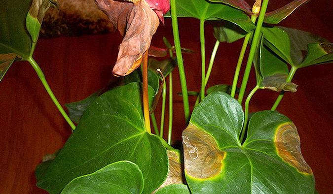 сохнут листья у антуриума