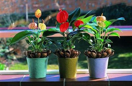 три цветка антуриум