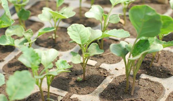 подросшая рассада капусты