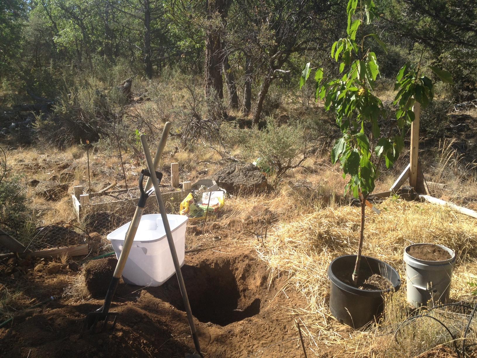 яма и саженец вишни для посадки