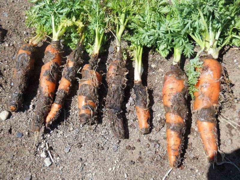 гнилая морковь