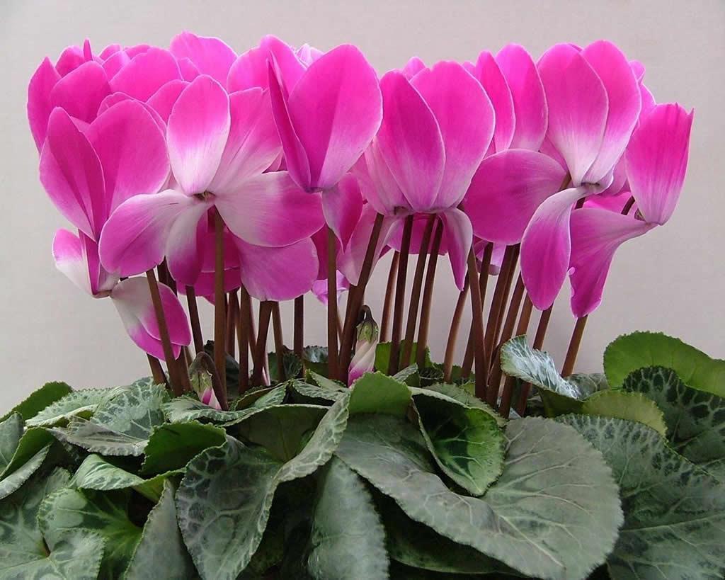 Цветущие комнатные растения фото и названия Комнатные 32