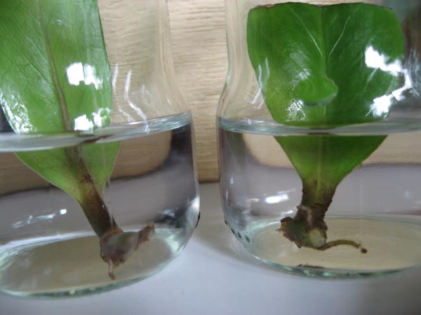 листья с корнями замокулькаса в воде