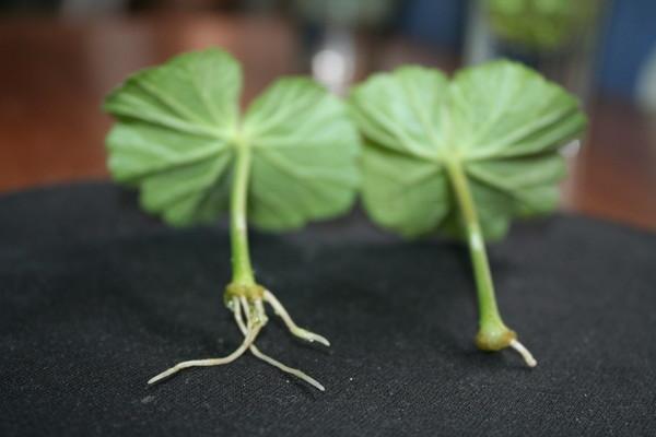 размножение герани листьями