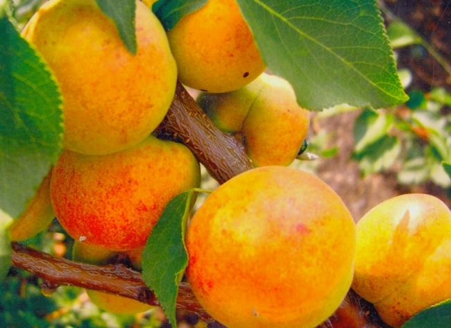 абрикосы популярного сорта