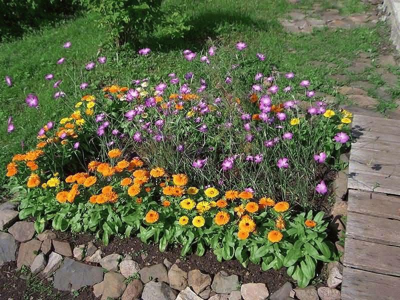 календула в саду
