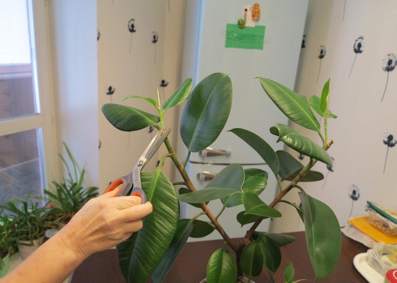 Размножение фикус в домашних условиях