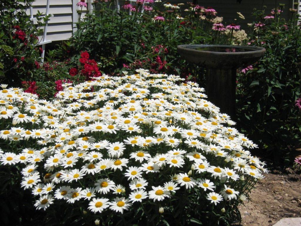 садовая ромашка
