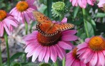 бабочка и эхинацея