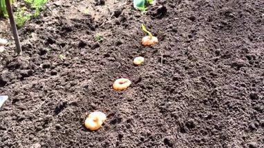 высадка луковиц гладиолуса в грунт
