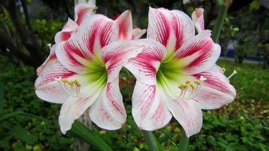 цветок амариллис