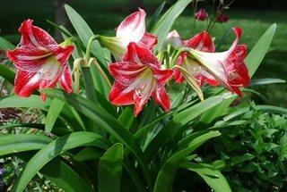 садовый амариллис
