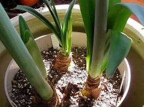 амариллис без цветов