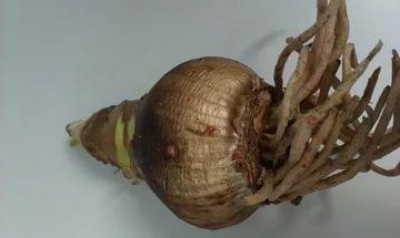 Когда сажать амариллис из луковицы 28