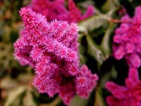 цветение астильбы