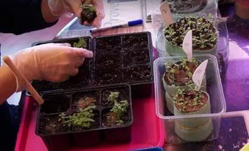 посев семян астильбы
